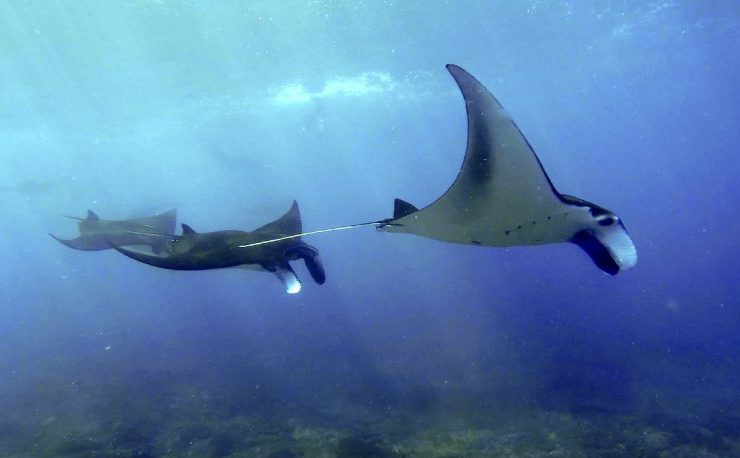 Picture of Manta Trip