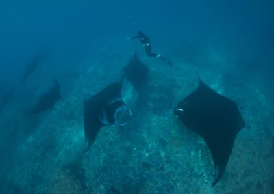 freediving with mantas