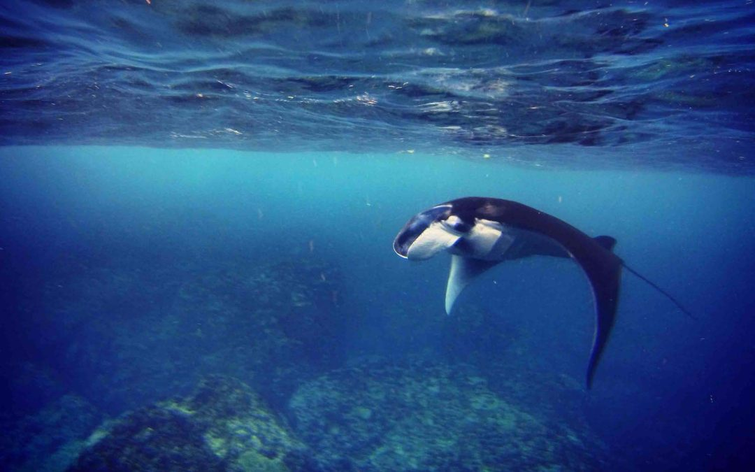 ​Manta Ray Trip 14th August​