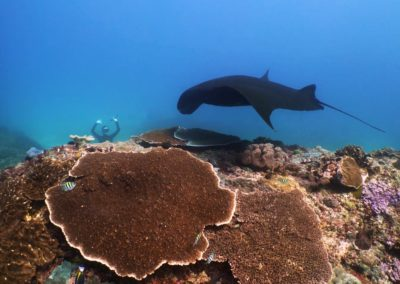 Manta Ray on the cleaning station and a Freediver