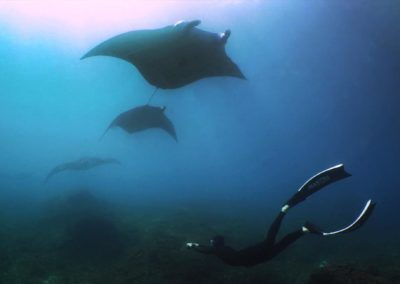 Few manta rays are diving